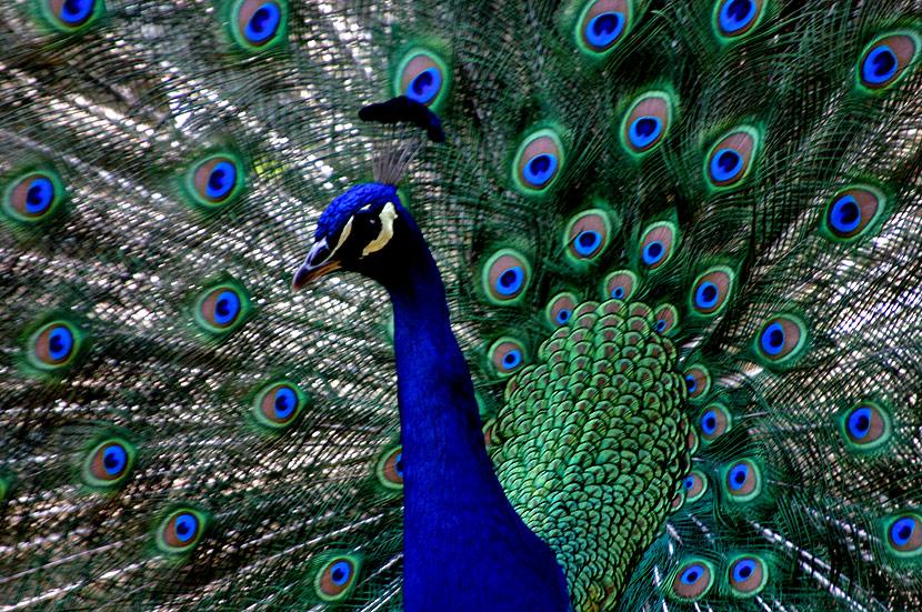 La cocina y los animales el pavo real espectacular - Fotos de un pavo real ...