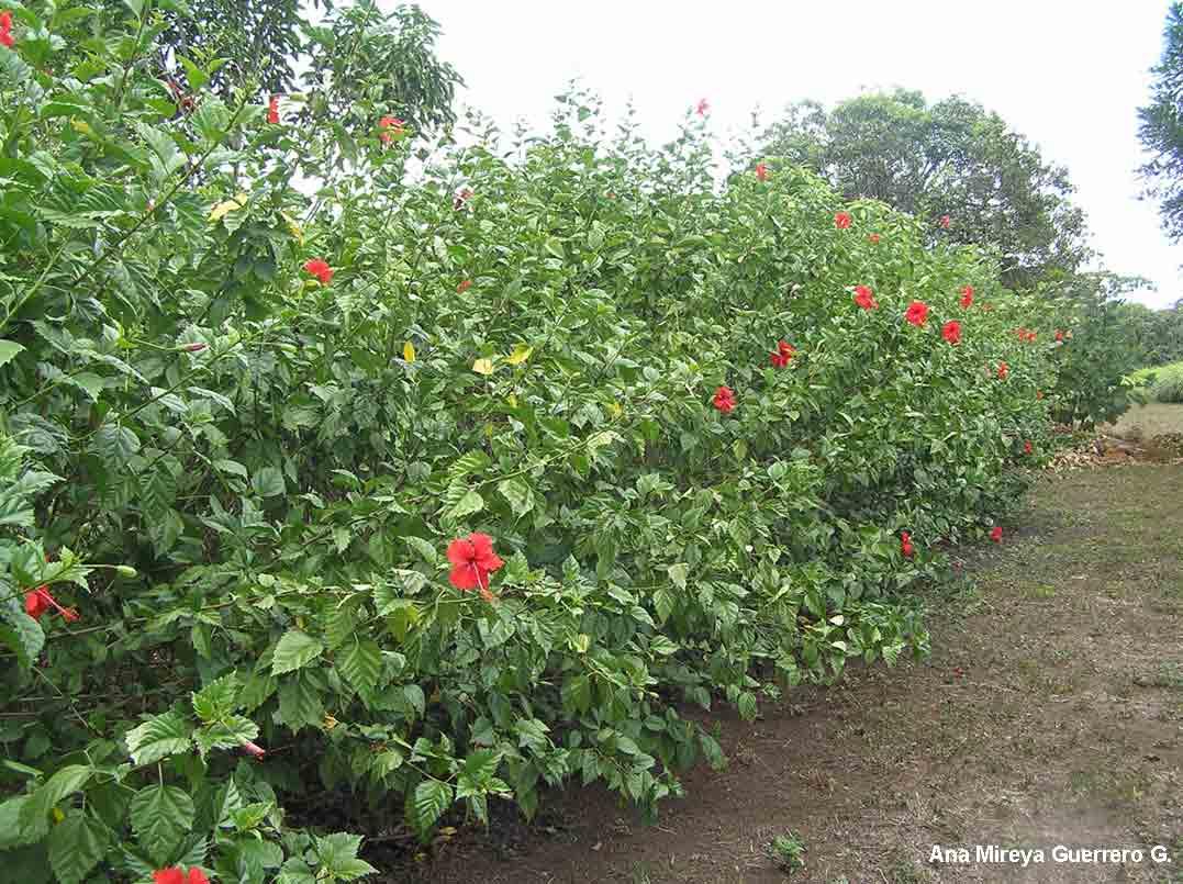Ecuador personajes y especies gal pagos y continente for Hibiscus arbol