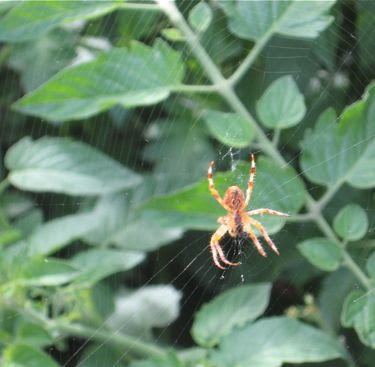 spider in the tomato plants