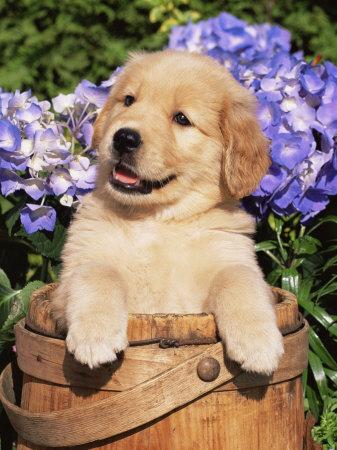Goldens Retrievers: Golden Retriever Puppies Images