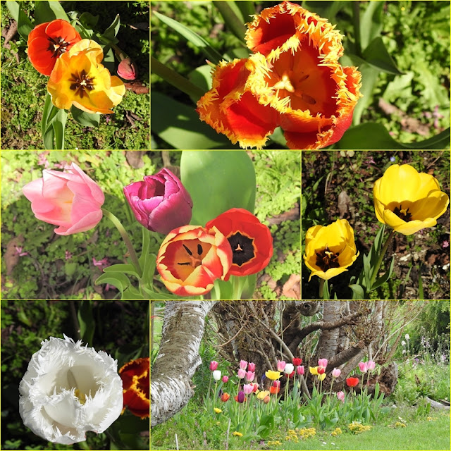 Photo Friday - Photographing New Zealand - Tulips in my Garden