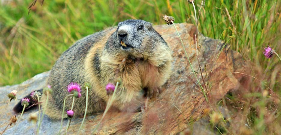 marmot, marmotte