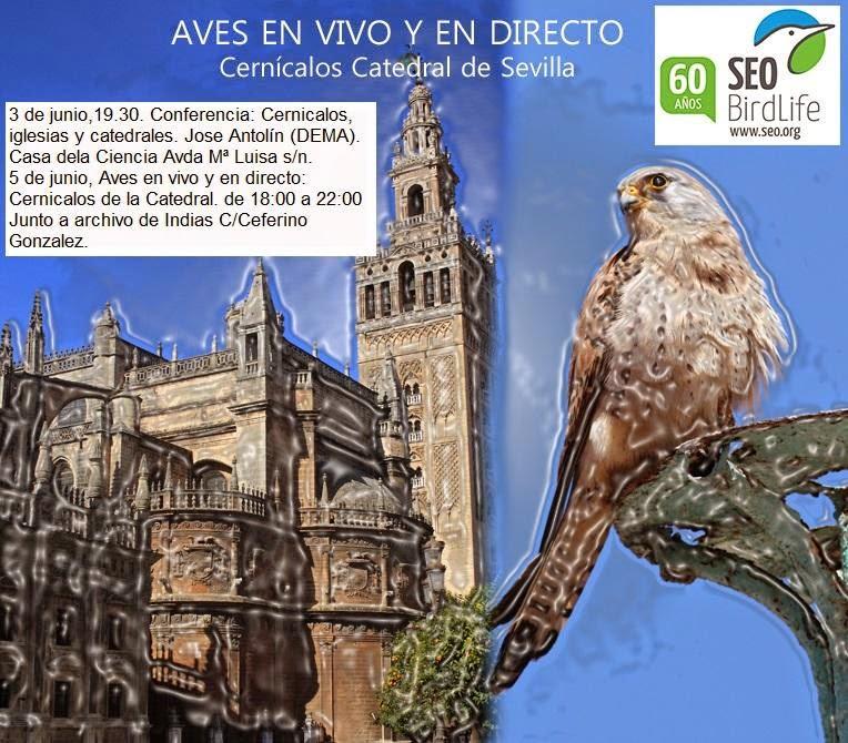 """AVES EN VIVO Y EN DIRECTO, Observación Pública de Aves organizado por el Grupo Local SEO-Sevilla de SEO/BirdLife. """"Cernícalos en la Catedral de Sevilla"""""""