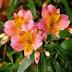 Alstroemeria Beautiful Flowers photos