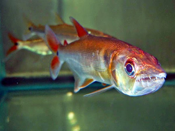 Ikan red tail barracuda dunia akuarium for Barracuda fish for sale