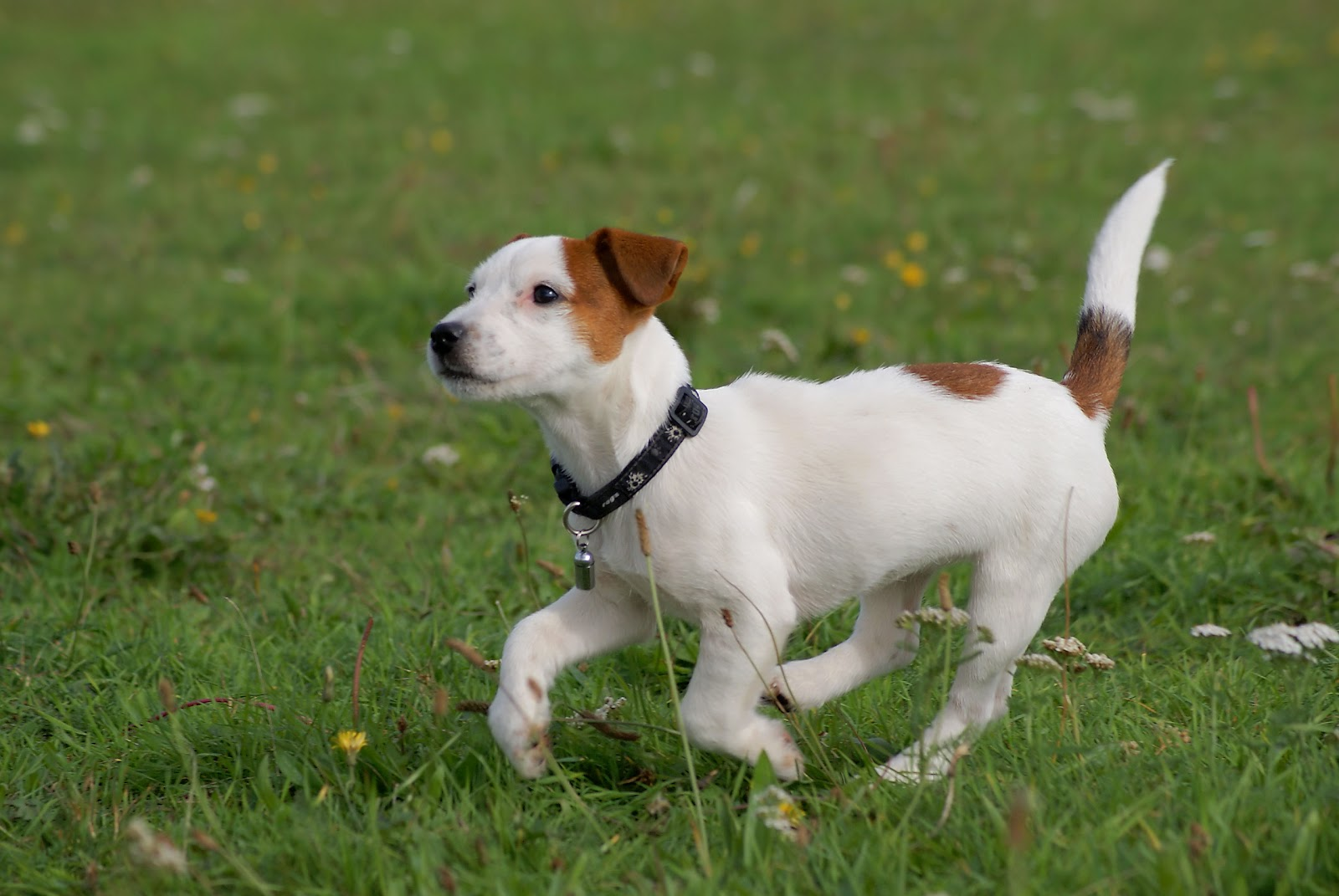 Jack Russell Terrier Running Wallpaper Desktop HD
