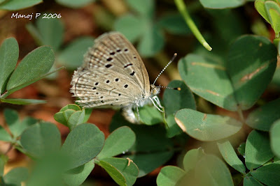 Dark Grass Blue Butterfly