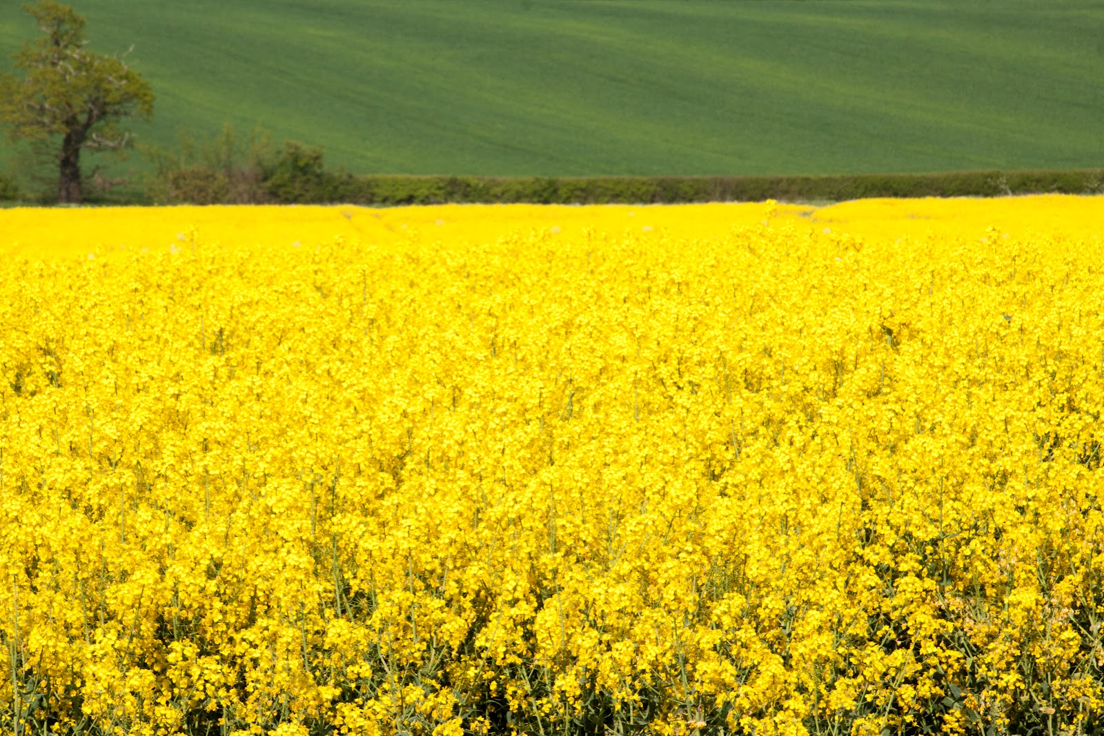 Peach And Thistle Fields Of Yellow Rapeseed