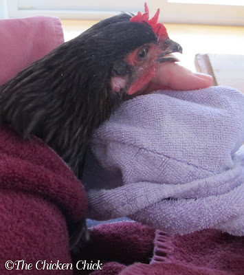 Holding chicken in a towel helps keep her calm, allowing me to work on her broken beak