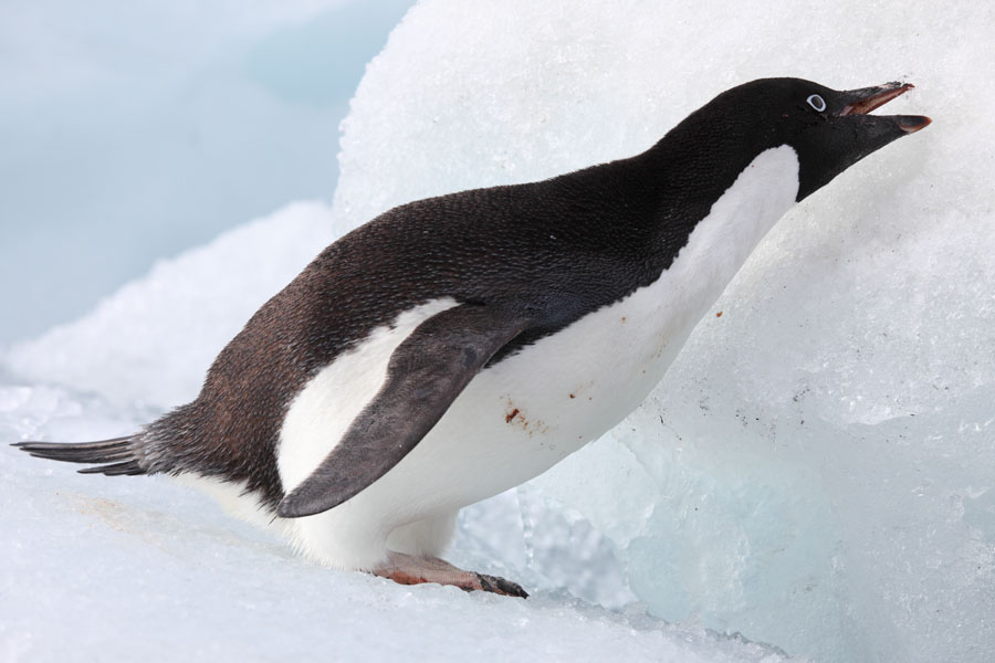 Images of adelie penguins - photo#25