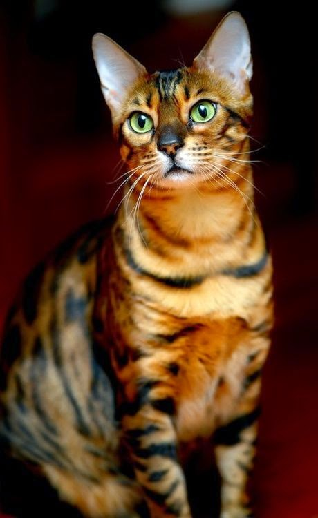 Top 5 Best Cat Breeds In The World