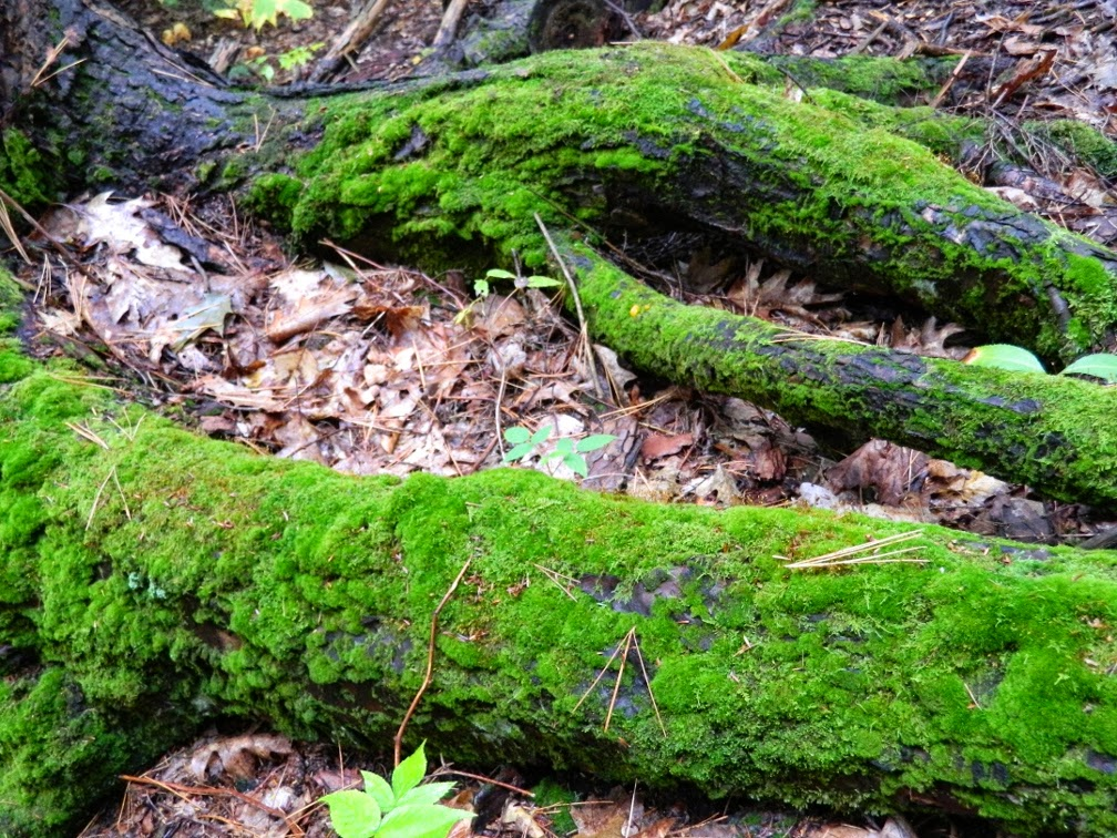 Lake Muskoka fall colours mossy tree root flares by garden muses--a Toronto gardening blog