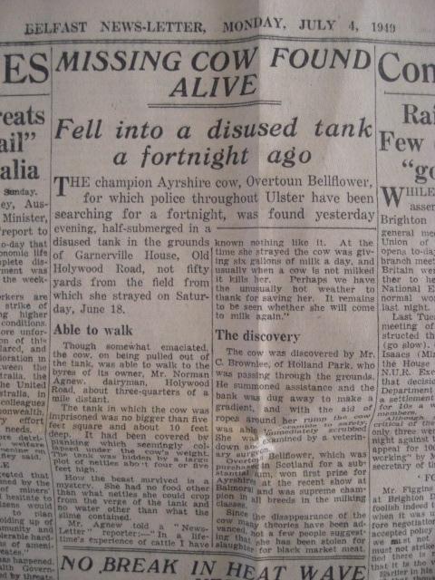 Belfast Newsletter 1949, Agnew's Ayrshire cow