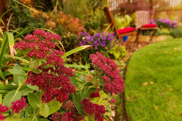 red flowers ice plant sedum autumn joy