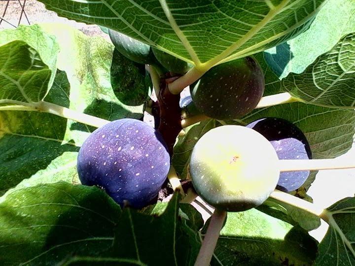 figs charleston sc