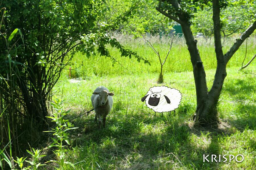 una oveja y un dibujo de oveja en el campo
