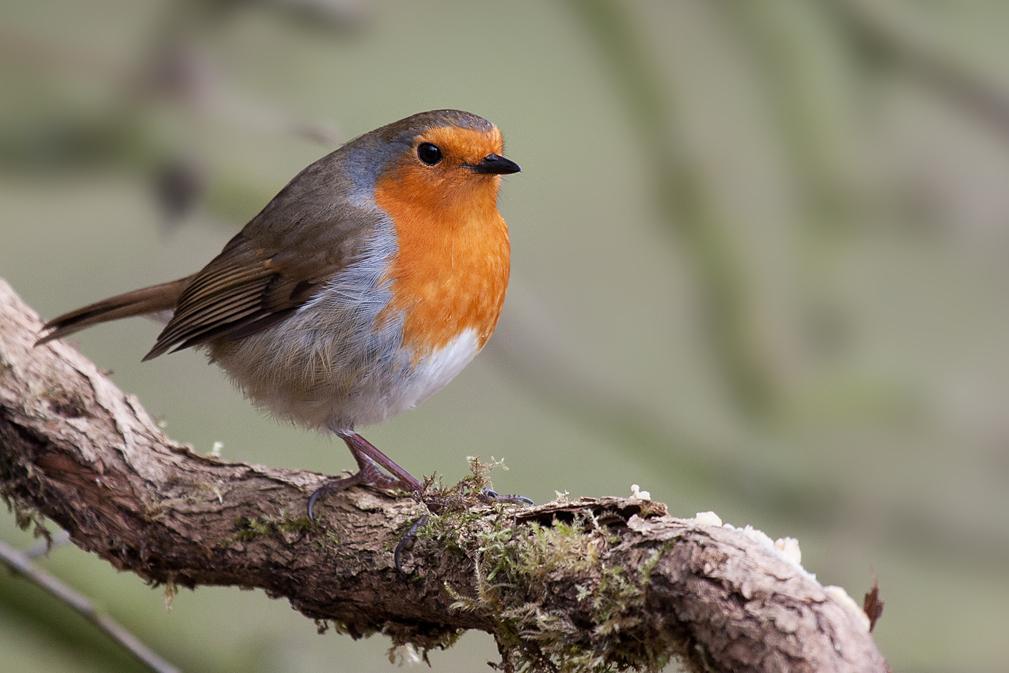 american robin bird flying - photo #47