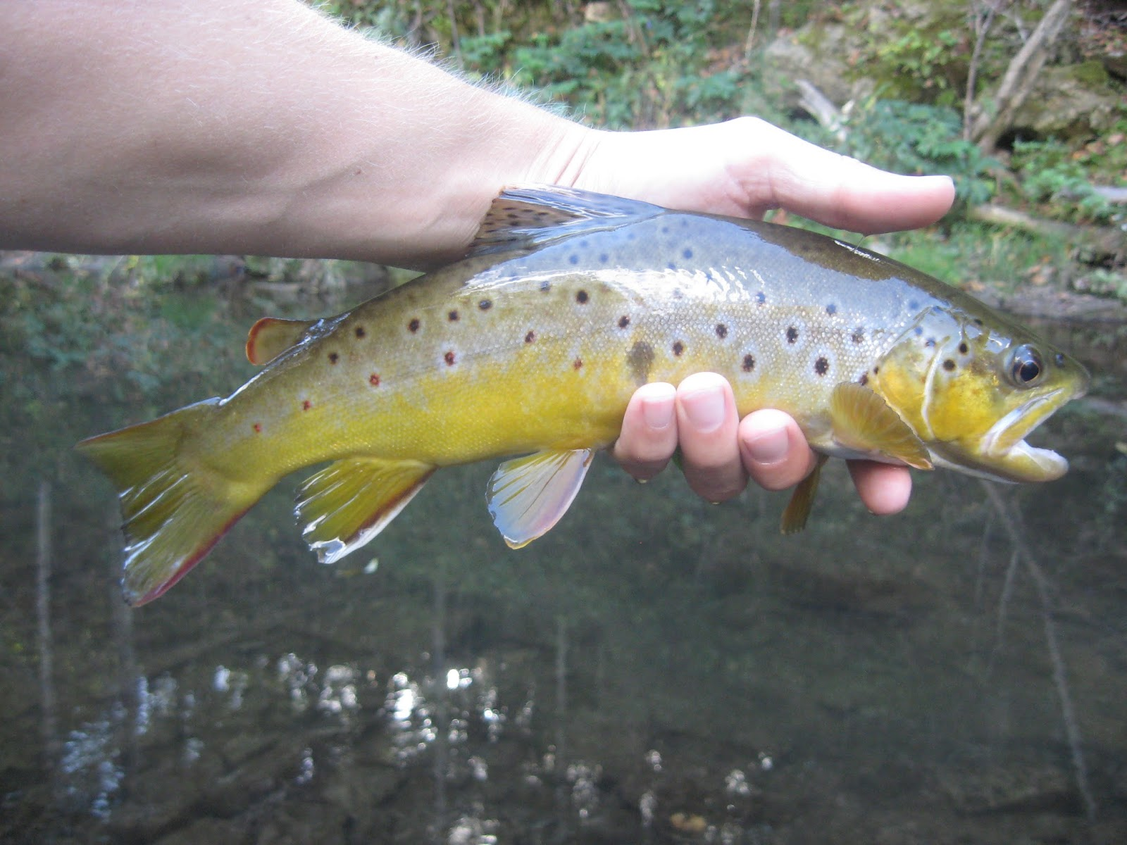 Minnesota driftless fly fishing trip report fall is here for Driftless fly fishing