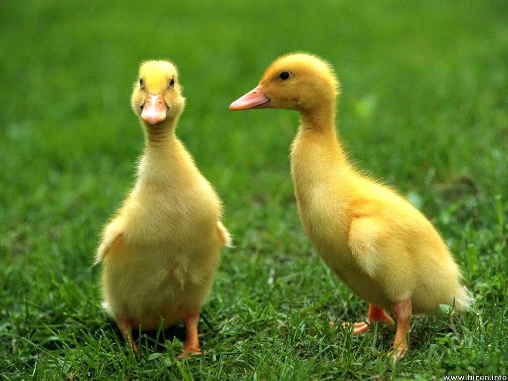 http://3.bp.blogspot.com/-HdfG8NJfK58/Tgm1XAm3FmI/AAAAAAAAAV4/lKg-fqwVrMM/s1600/baby-ducks.jpg