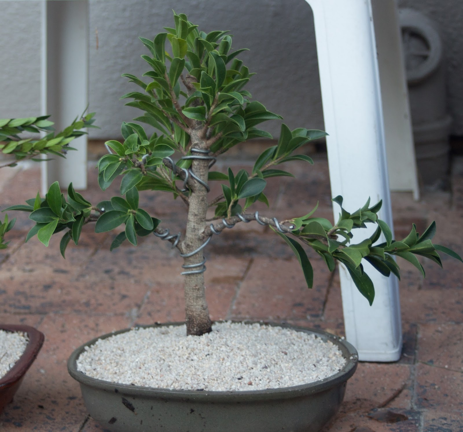 Kit Kat Club The Art Of Bonsai April 2015