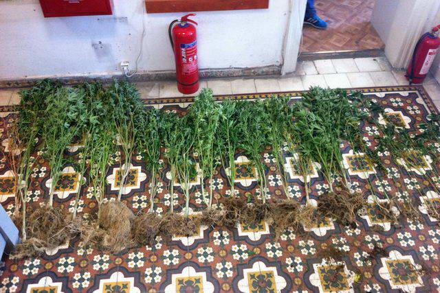 Φυτεία δενδρυλλίων κάνναβης στην Παλαγία Αλεξανδρούπολης