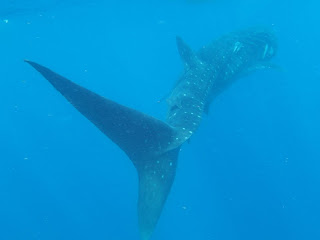 A whale shark glides past. Watch out for that tail!