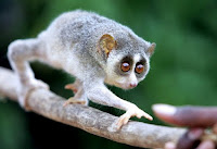 smuggled loris