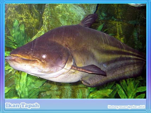 gambar ikan tapah