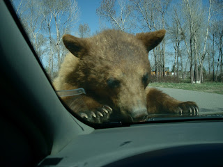 bear on car at bear world