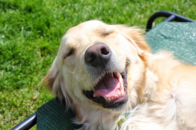 golden retriever smiling wordless wednesday