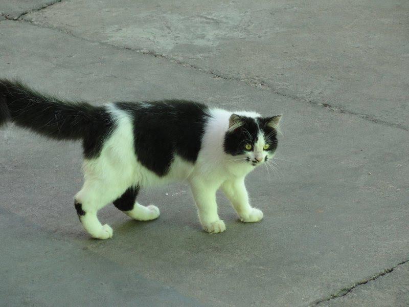 Gato Preto e Branco Peludo Procura-se Gato Peludo Preto