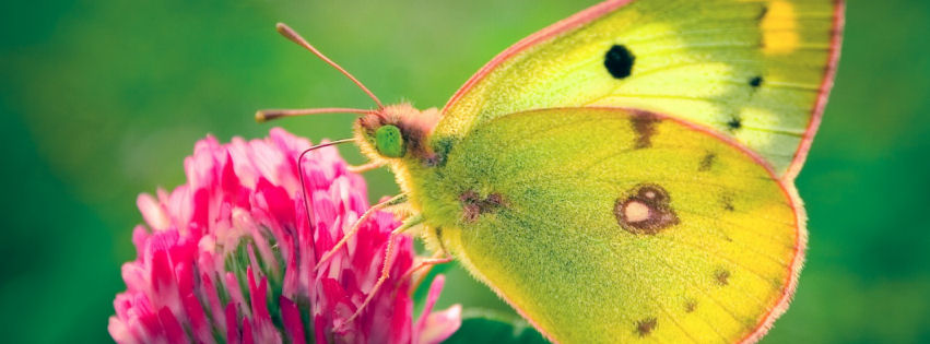Colias hyale butterfly facebook cover