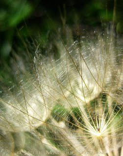 old crop, Beautiful golden rays of light play along the fine delicate filaments of an autumn seed head