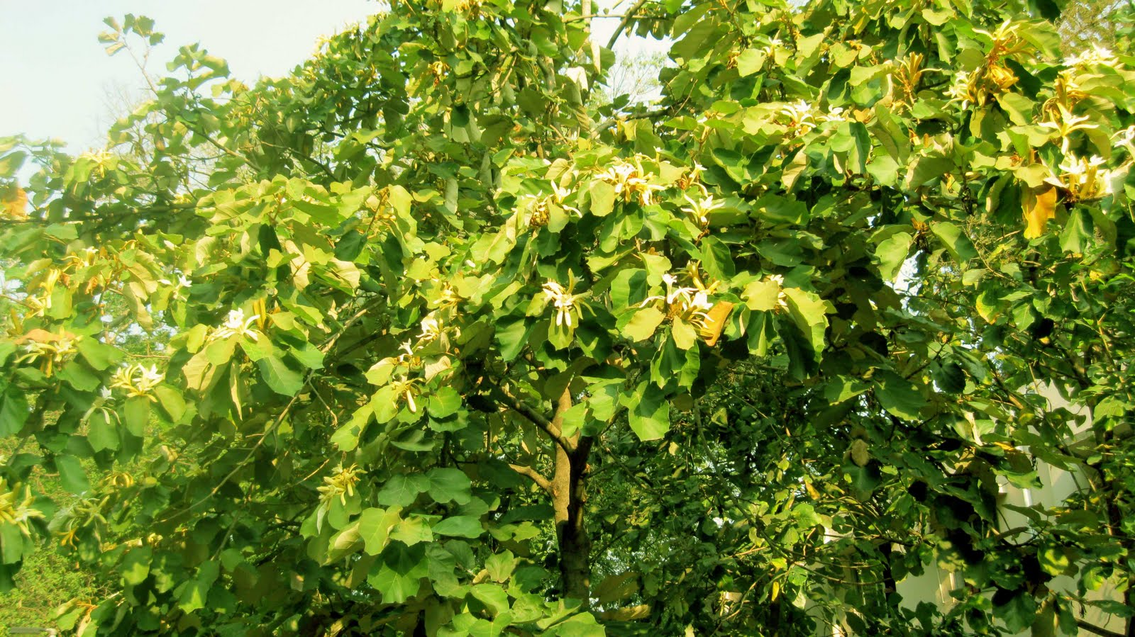 Malhar Maple Leaved Bayur Tree