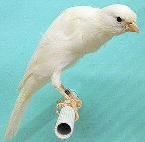 Burung Kenari - Solusi Penangkaran Burung Kenari -  Kode Ring Kenari Import Pada Negara Colombia