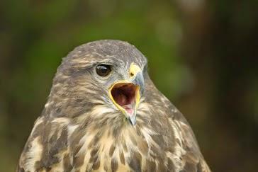 2012.-ben az év madara az egerészölyv