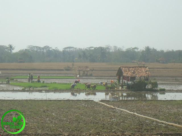 FOTO : Aktifitas pengairan dan babut benih padi disawah admin