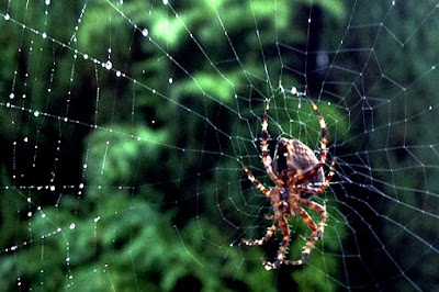 spider hanging upsidedown in dewy web