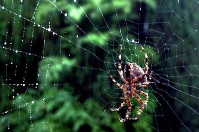 spider hanging upsidedown in dewy web