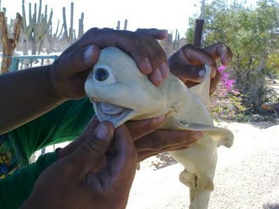 tiburón deforme un ojo