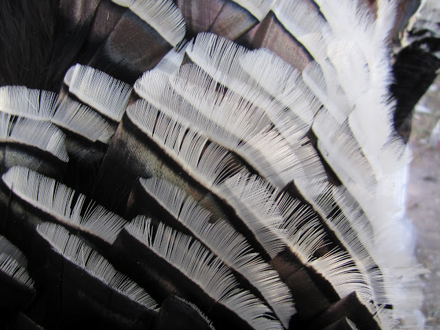 Gould's turkeys are covered in white feathers
