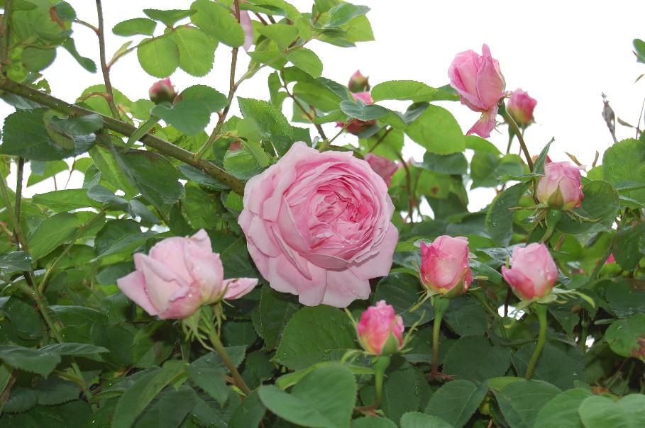 fragrant old fashioned roses. Black Bedroom Furniture Sets. Home Design Ideas