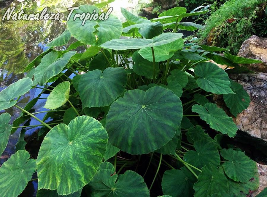 Planta del género Begonia