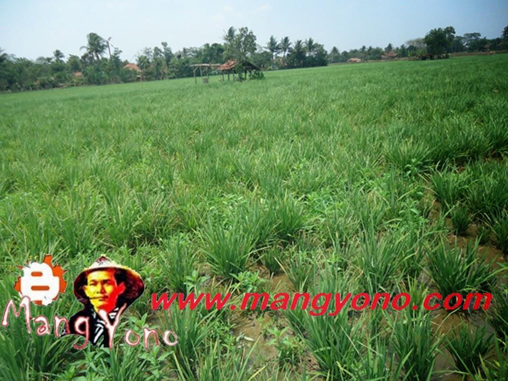 Ini Tanaman Padi tetangga di Bakan Bandung. Terlihat tanaman padinya Mengerdil dan Mandu