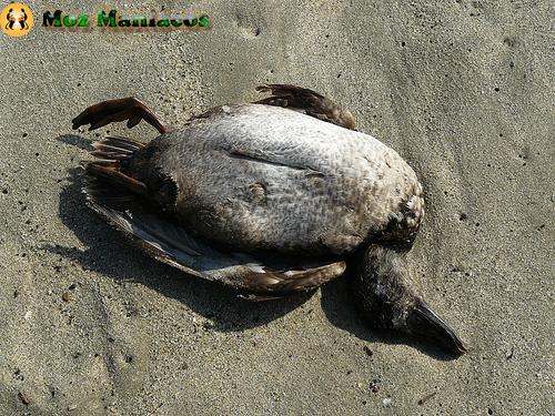 Pássaro Morto