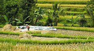 Working on the ricefields