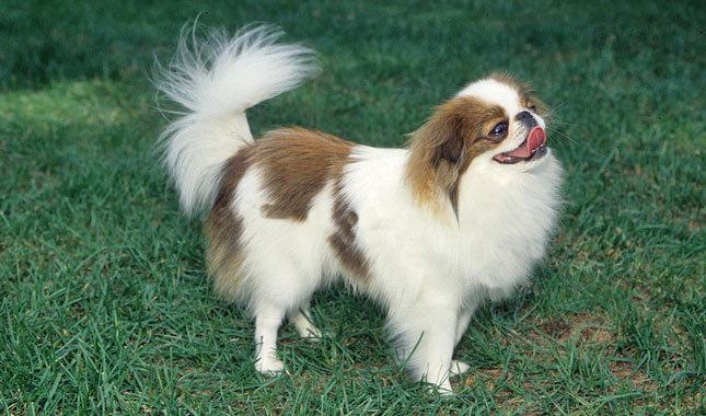 Japanese Chin | Small Dog Breeds | Mighty Dog®