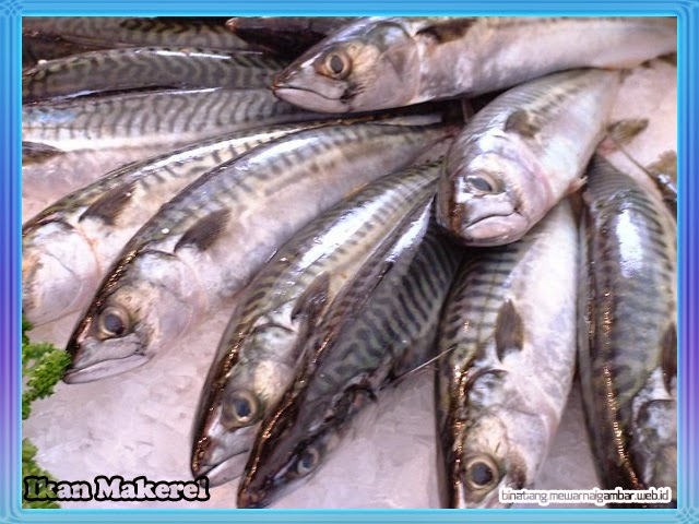 gambar ikan makerel