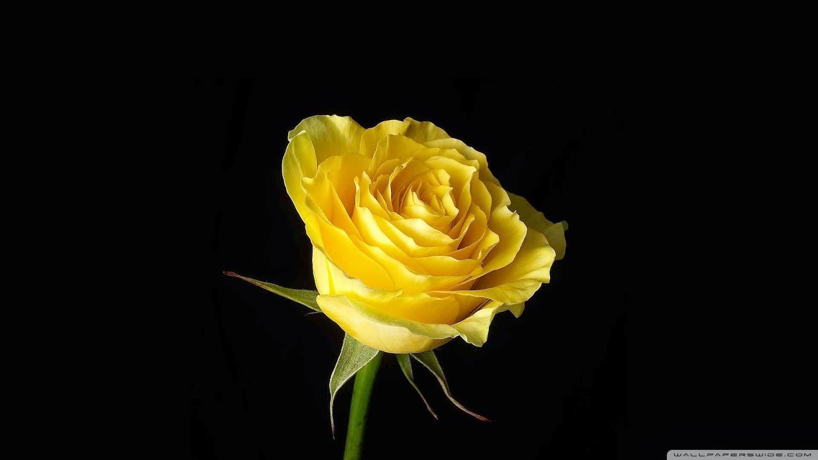 yellow rose on black background wallpaper
