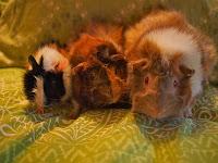 Marsut - Guinea Pigs